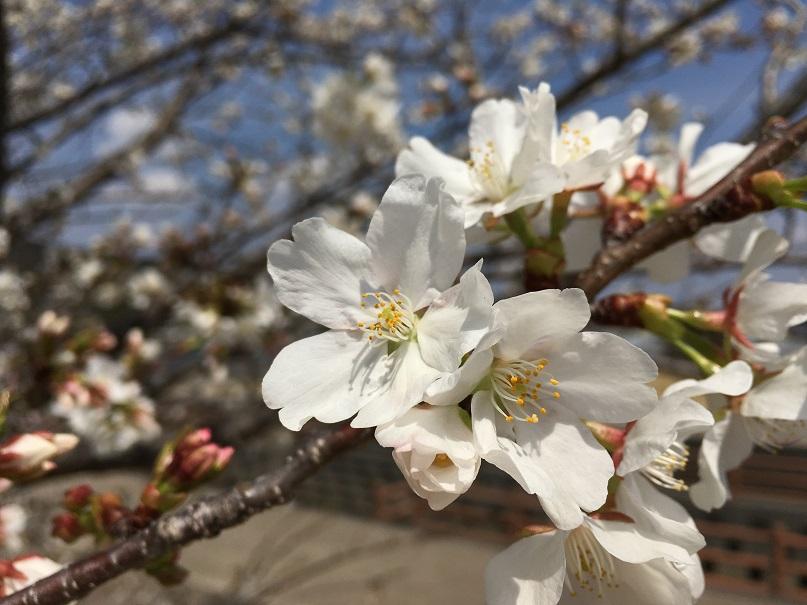 桜が見頃です!!