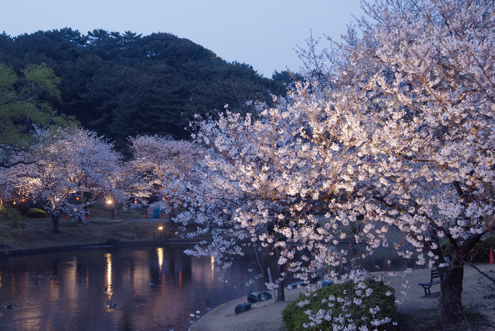 夜桜開園!!
