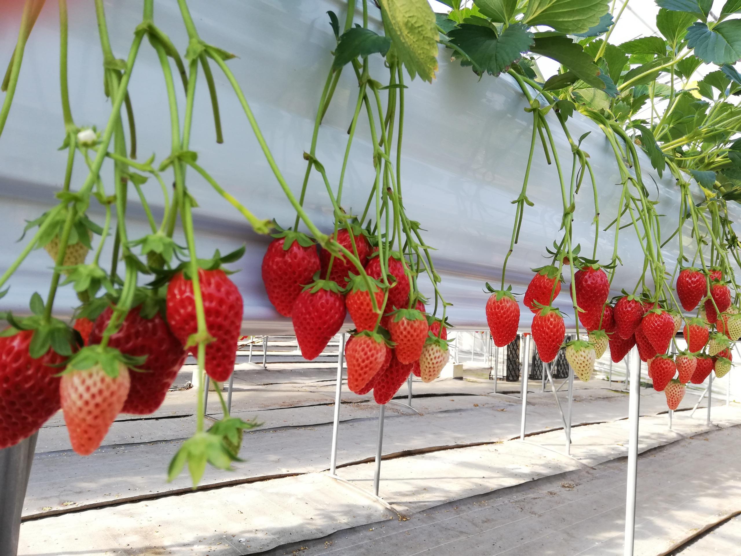 たくさんの苺がなっています!