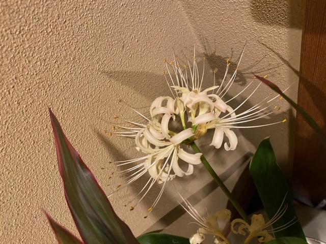 白色のヒガンバナは珍しいですよね!